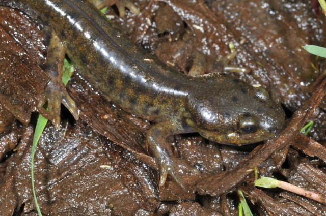 ambystoma-gracile_5