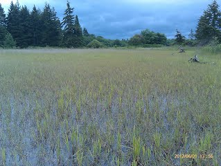 BP Emergent Wetland, excellent amphibian breeding habitat (photo credit, Vikki Jackson)
