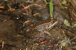 Cascades Frog (copyright Stephen Nyman)