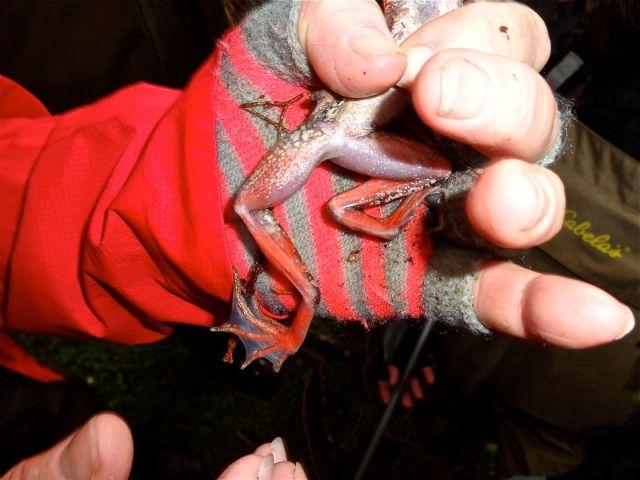 cbrown-red-leg-frog-stimpson