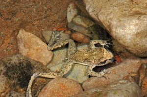 Coastal Tailed Frog adult (copyright Stephen Nyman)