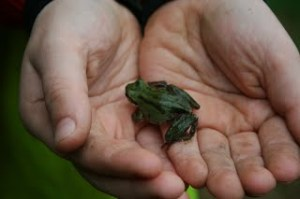 Pacific Chorus Frog in hand