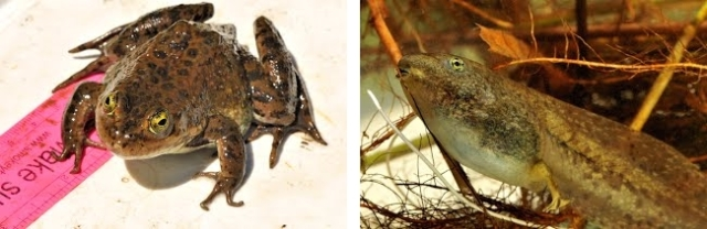 Adult and larval Oregon spotted frogs (photos copyright Stephen Nyman)