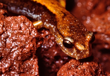 Adult male western red-backed salamander, showing the nasolabial cirrus (copyright Stephen Nyman)