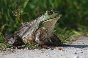 female American Bullfrog (photo by L. Meche)