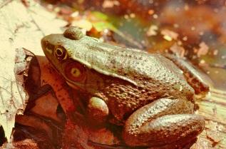 Green Frog (copyright Stephen Nyman)